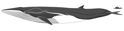 size-fin-whale-400